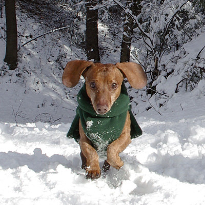 Dachshund winter coat