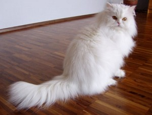 Persian cat caretips
