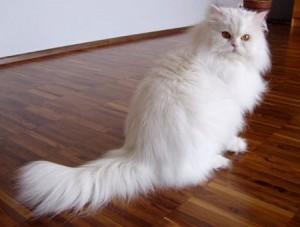 Persian cat caretips