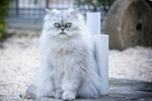 Persian cat care tips