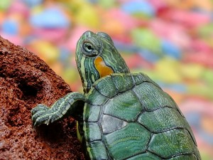 easy to take care turtles