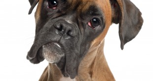 dog food for boxers