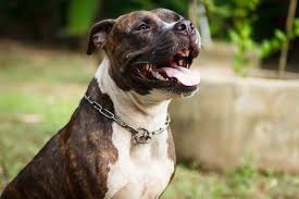 best pit bull dog food
