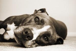 Best dog food pitbull