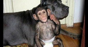 chimpanzee as pet