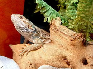 Pet lizards need care too