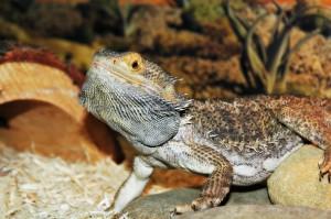 Pet lizards can be fun