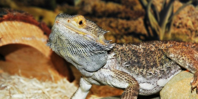 Top 10 Lizards To Own As Pets